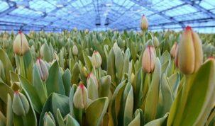 К Дню Победы в Москве высадят 12 млн тюльпанов