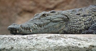 Череп древнего крокодила более 140 лет ждал научного описания